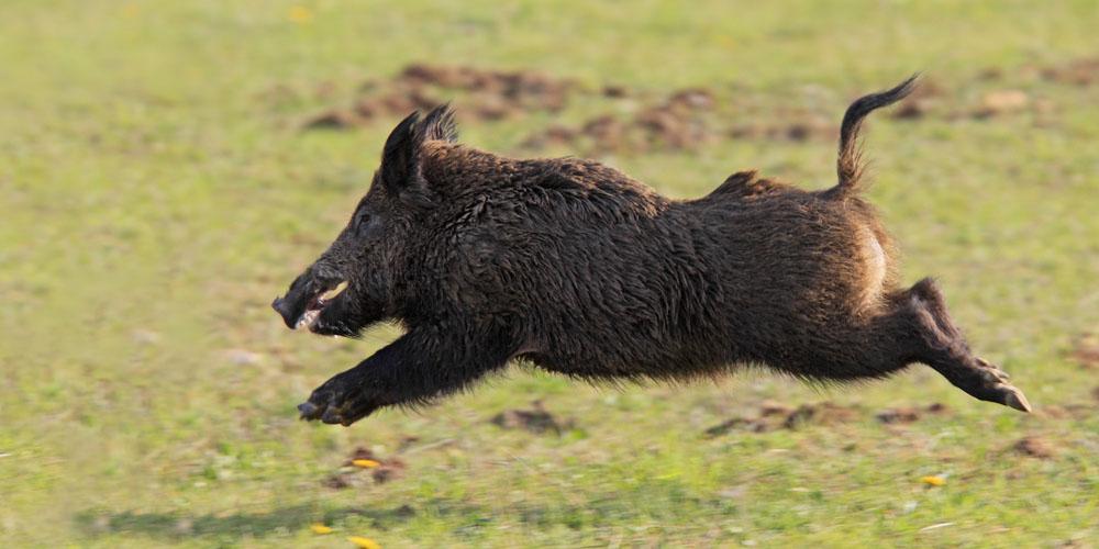 Wild boar hunting - Croatia Hunt